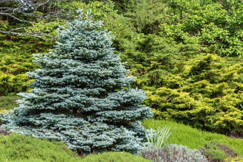 How to Grow Colorado Blue Spruce Trees