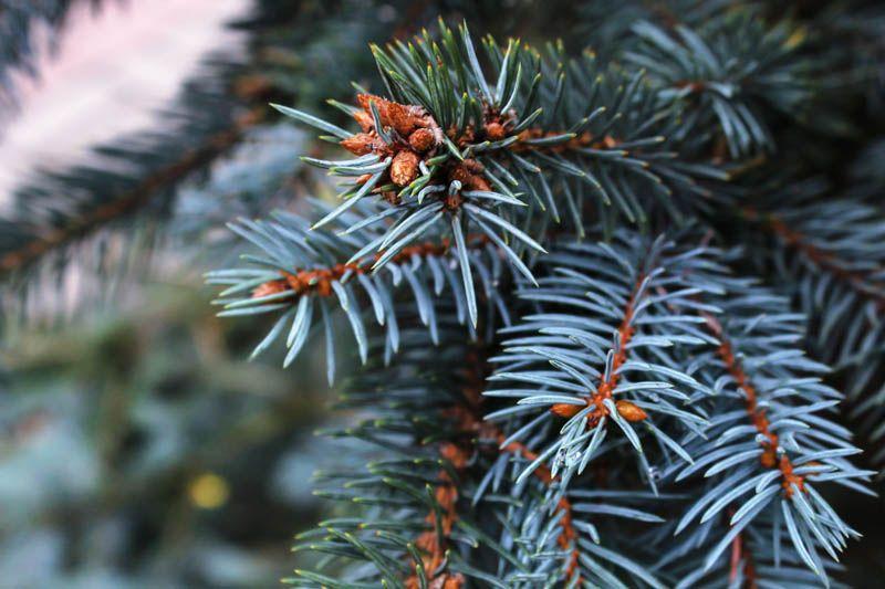 Colorado Blue Spruce Closeup