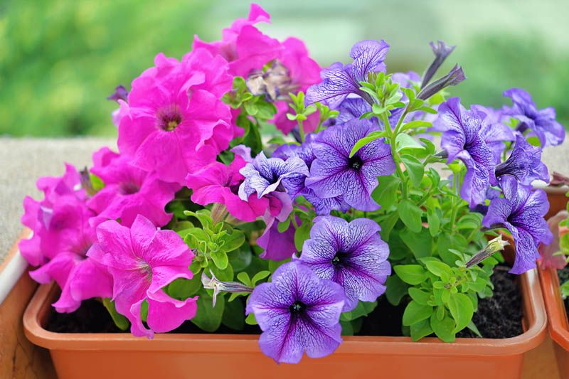Annual Flowers - Petunias