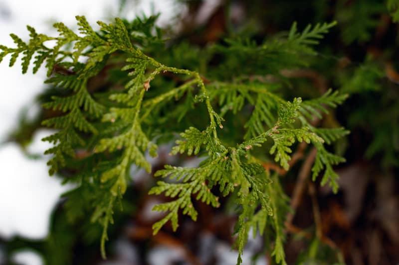 Juniper – Needleleaf perennial shrub