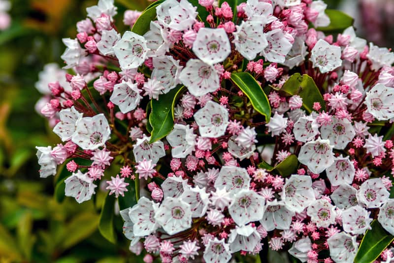 • Mountain Laurel – Broadleaf evergreen shrub